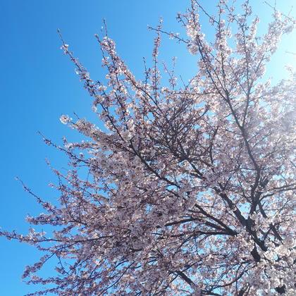 桜~春がやってきました~